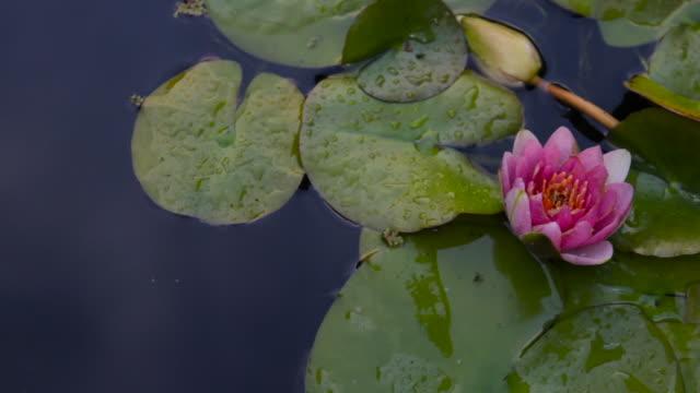 Lotus Flower Goldfish and Rain