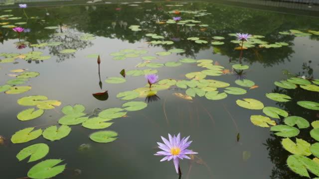 stockvideo's en b-roll-footage met lotusbloem in vijver - lotuspositie