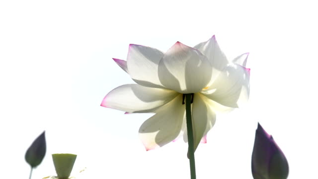 lotus flower in the wind against white background hd video - lotus water lily stock videos and b-roll footage