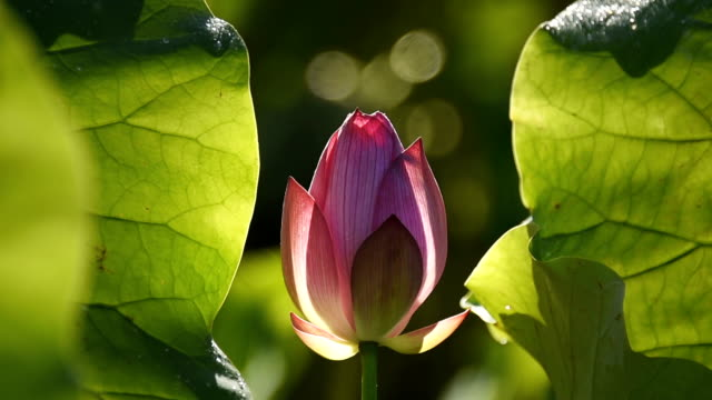 Lotus Flower Just Budding In The Pond Hd Video Stock Footage Video