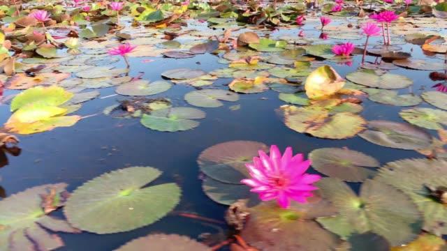 lotus flower lake - sacred lotus stock videos and b-roll footage