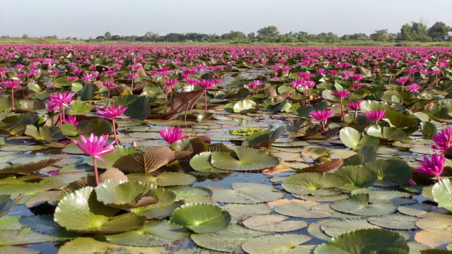 lotus flower lake - lily stock videos & royalty-free footage