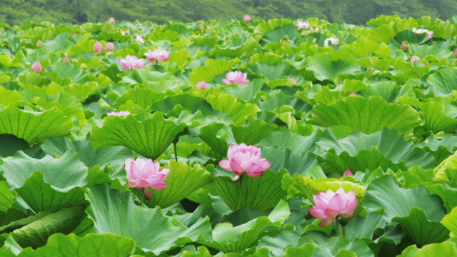 lotus flower on shinobazu pond at ueno park in tokyo,japan - shinobazu pond stock videos and b-roll footage