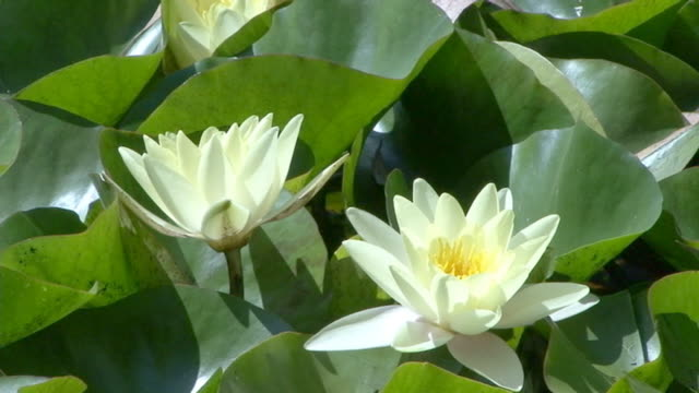 Lotus flower opening into the morning