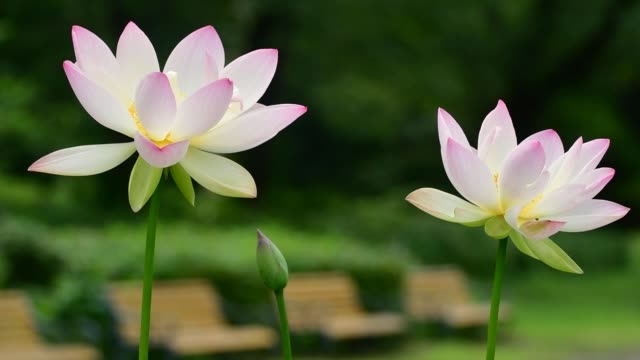 lotus flower: pink and light pink color - stem stock videos & royalty-free footage