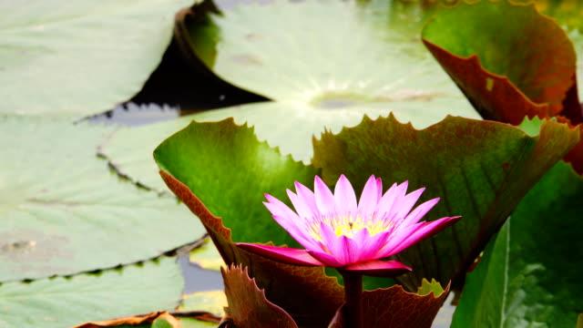 4k: lotus flower - pianta acquatica video stock e b–roll