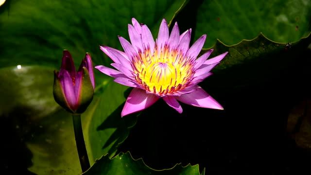 lotus blume - sportschützer stock-videos und b-roll-filmmaterial