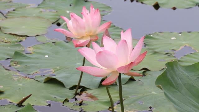 stockvideo's en b-roll-footage met lotus flower - waterplant
