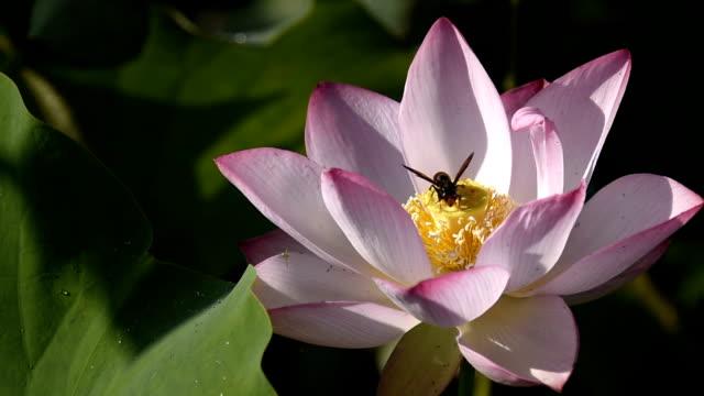 Lotusblomma med wasp pollinering i dammen HD-Video