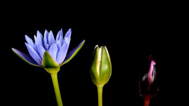 Black lotus flower videos and b roll footage getty images lotus flowers blooming on black background mightylinksfo