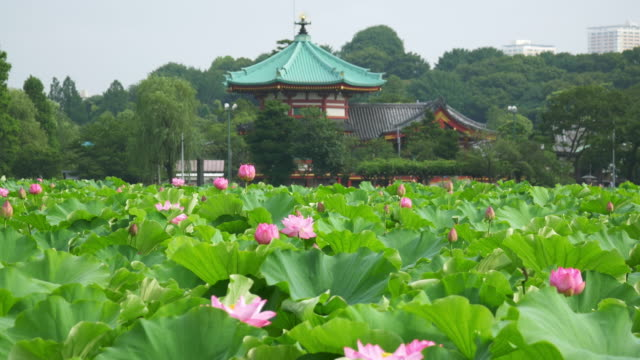 lotus flowers dolly motion in shinobazu pond - shinobazu pond stock videos and b-roll footage