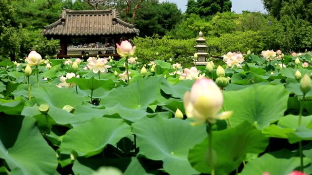 lotus flowers in semiwon (botanical garden) / yangsu-ri, yangpyeong-gun, gyeonggi-do, south korea - lily stock videos & royalty-free footage