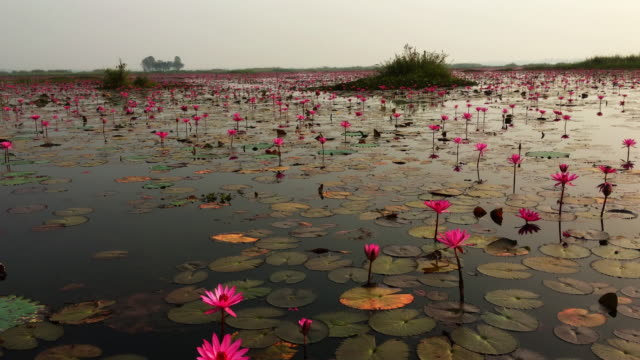 Lotus blommor Sea Thailand