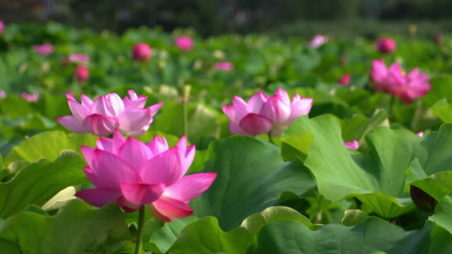 lotus flowers - lily stock videos & royalty-free footage