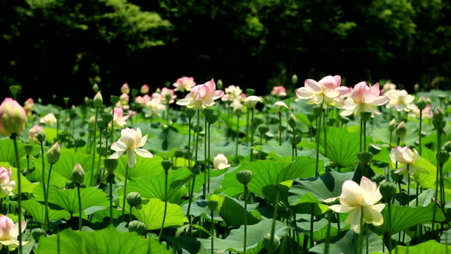lotus flowers / yangsu-ri, yangpyeong-gun, gyeonggi-do, south korea - stem stock videos & royalty-free footage