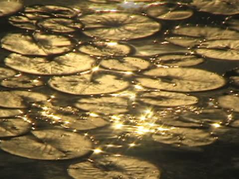 vídeos de stock, filmes e b-roll de lotus em gold - squiggle