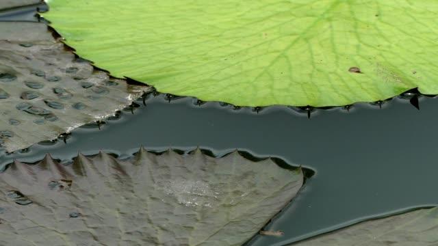 lotus in the pond, bangkok - mezzogiorno video stock e b–roll