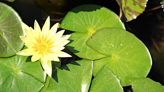 lotus in the water. - aquatic organism stock videos & royalty-free footage