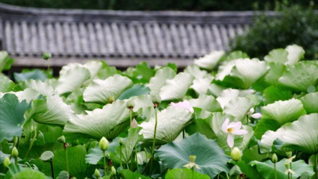 lotus leaf swaying at yangdong folk village(unesco world heritage site) - north gyeongsang province stock videos & royalty-free footage