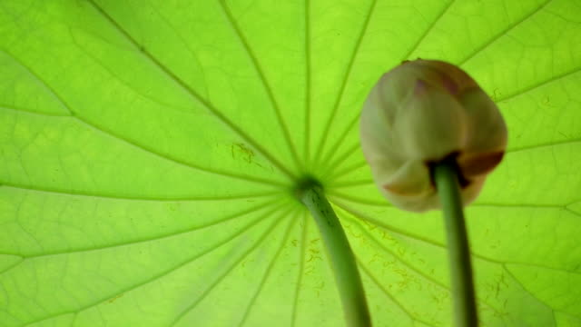 lotus leaf - tracery stock videos and b-roll footage