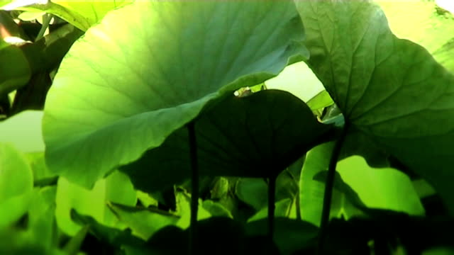 ハスの葉の池である。 - 水生植物点の映像素材/bロール