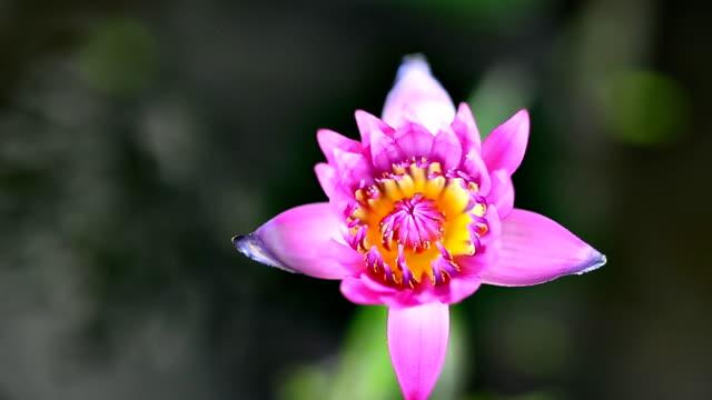スイレンの花蓮