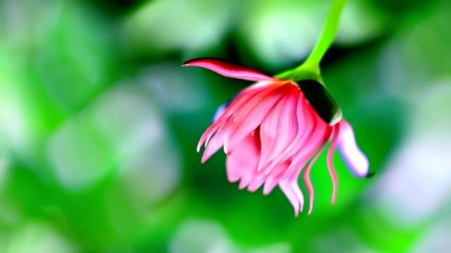 lotus lily flower - lotus position stock videos and b-roll footage
