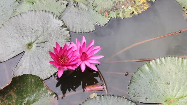 vidéos et rushes de paire de lotus rose. - lis
