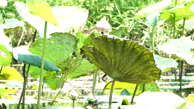 lotus plant in the pond - water plant stock videos and b-roll footage