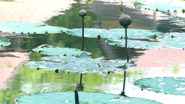 vídeos de stock, filmes e b-roll de planta dos lótus na lagoa - water plant