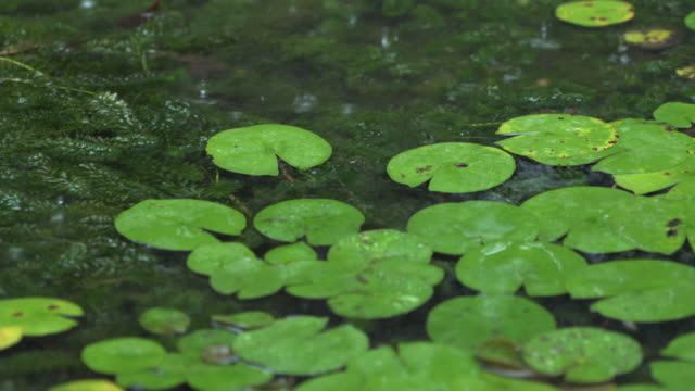 lotus pond in rainy day - pond stock videos & royalty-free footage