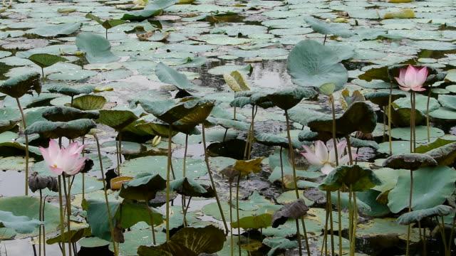 lotus pond - sacred lotus stock videos and b-roll footage