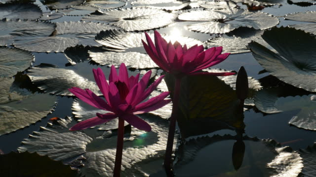 lotus reflecting sunlight in the morning. - lily stock videos & royalty-free footage
