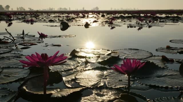 vídeos y material grabado en eventos de stock de loto que refleja la luz del sol de la mañana. - loto