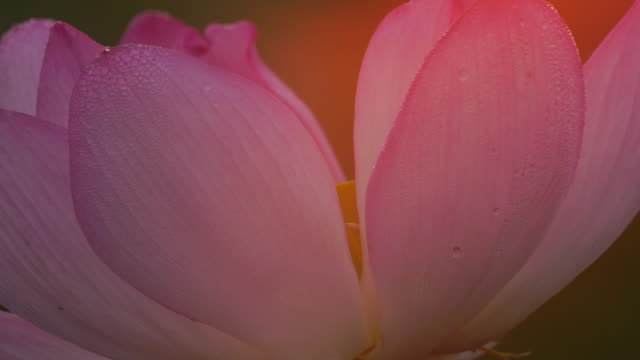 lotus (nelumbo nucifera) - buddhismus stock-videos und b-roll-filmmaterial