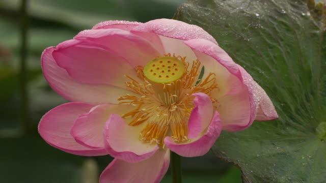 vídeos y material grabado en eventos de stock de lotus (nelumbo nucifera) - organismo acuático