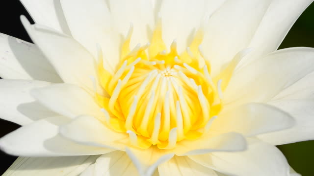 """lotus """" - staubblatt stock-videos und b-roll-filmmaterial"""