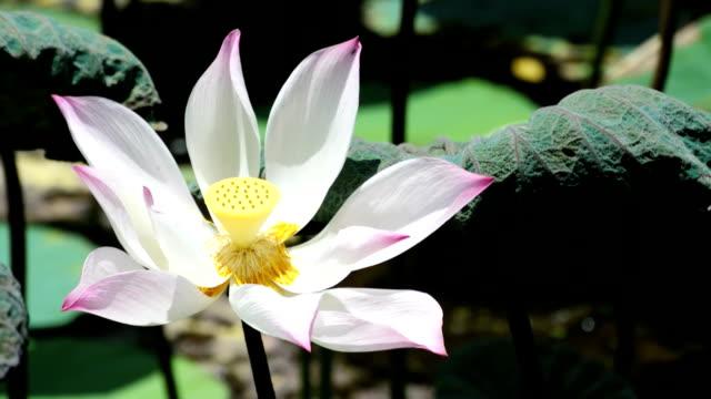 lotus - ajar stock videos & royalty-free footage