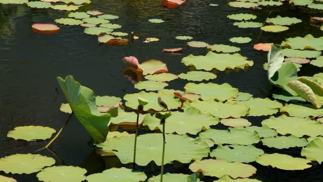 vidéos et rushes de lotus - posture du lotus