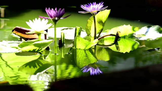 lotus - sacred lotus stock videos and b-roll footage