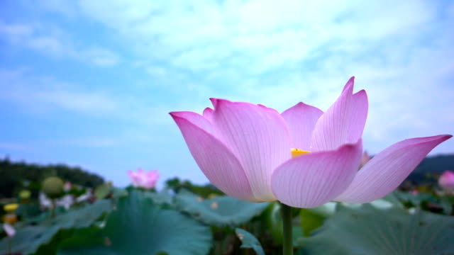 lotus - lily stock videos & royalty-free footage