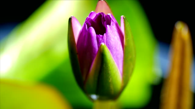 lotus water lily blooming time lapse dci 4k - single flower stock videos & royalty-free footage