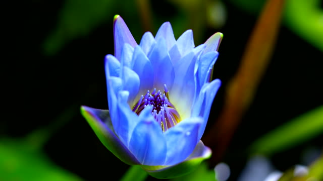 lotus water lily flower blooming close-up time lapse dci 4k - single flower stock videos & royalty-free footage