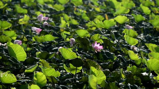 蓮の花が満開のピンクとグリーンリーフのウォーターをご用意。 - 胡坐点の映像素材/bロール