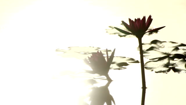 lotus with reflection - sacred lotus stock videos and b-roll footage