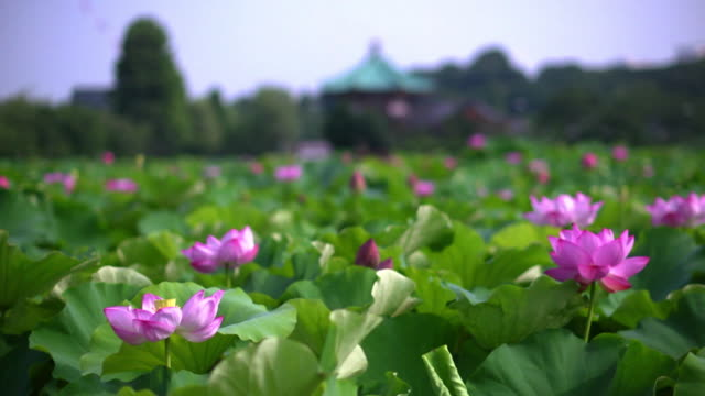 lotuses in shinobazu pond, tokyo, japan - shinobazu pond stock videos and b-roll footage