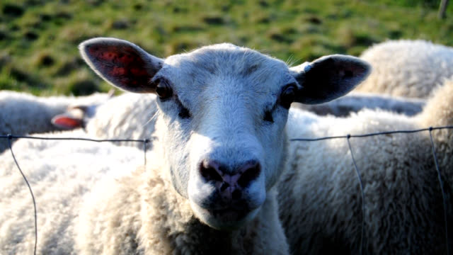 loud sheep in herd - sheep stock videos & royalty-free footage