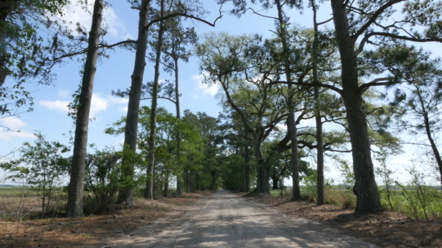 louisiana pines along oak and pine alley - single track stock videos and b-roll footage