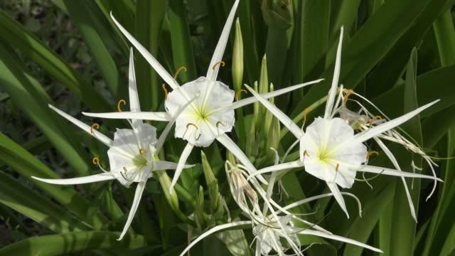 vídeos y material grabado en eventos de stock de louisiana white swamp flowers - hymenocallis caribaea