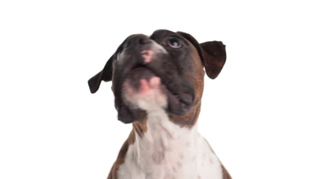 Lovable boxer doggie